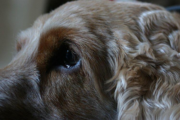 My Boy EyEmNewHere Dog Cockerspaniel EyeEm Selects Animal Themes One Animal Mammal Animal Canine Dog Domestic Animals Pets Domestic Animal Body Part Vertebrate Close-up No People Animal Head  Animal Hair Brown Hair Animal Eye Indoors  Eye EyeEmNewHere