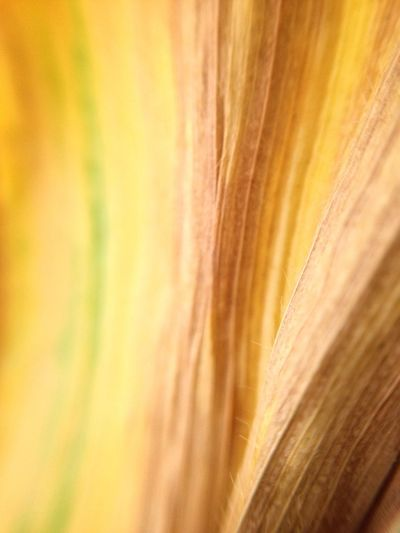 Texture Natural Corn Lines Vertical Yellow Full Frame Close-up Backgrounds No People Textile Pattern Abstract Textured  Selective Focus Plant Nature Beauty In Nature Macro Extreme Close-up