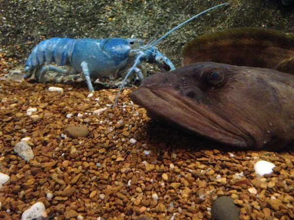 Blue lobster in water Animal Blue Lobster Close-up Day Ground Lobster Log Mammal Nature No People Outdoors Stone - Object