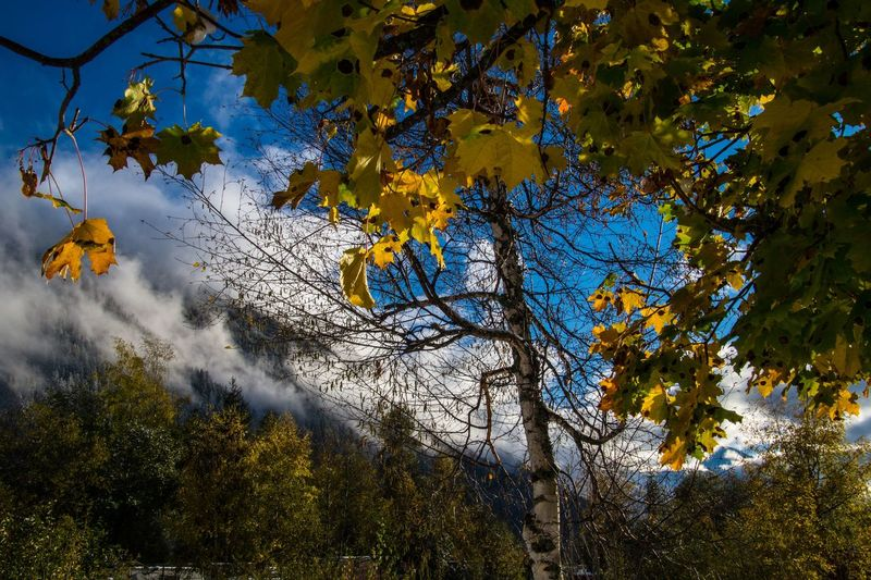 argentiere,chamonix,haute savoie,france Plant Tree Autumn Branch Growth Beauty In Nature Nature Tranquility No People Change Day Tranquil Scene Sky Scenics - Nature Outdoors Yellow Plant Part Leaf Low Angle View Non-urban Scene Autumn Collection Natural Condition