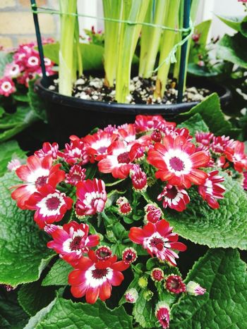 Red Flowers. Greenhouse Close-up Freshness Fragility Beauty In Nature Day Flower Head No People Nature Growth Plant Flower