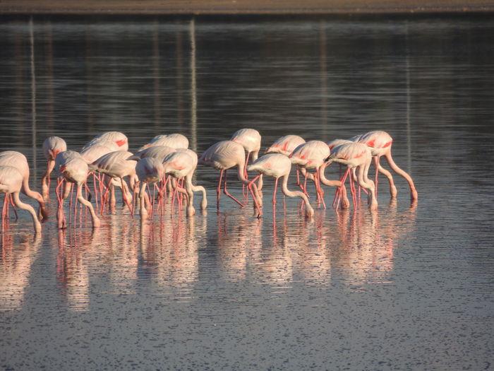 Flock of flamingos foraging in lake