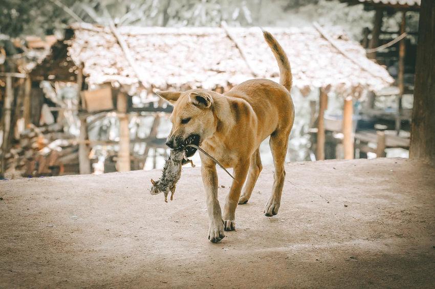 Hunting Dog Dogs Of EyeEm Thai Hunting Dog Animal Animal Themes Animal Wildlife Dog Dogslife Dog❤ Domestic Animals Focus On Foreground Mammal One Animal