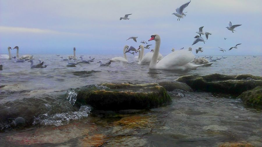 Large Group Of Animals Flock Of Birds Water No People Outdoors Day Sea Animal Themes Beach Seagull Cold Temperature Flying Swans