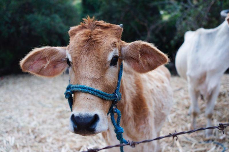 Close-up portrait of cow standing at farm