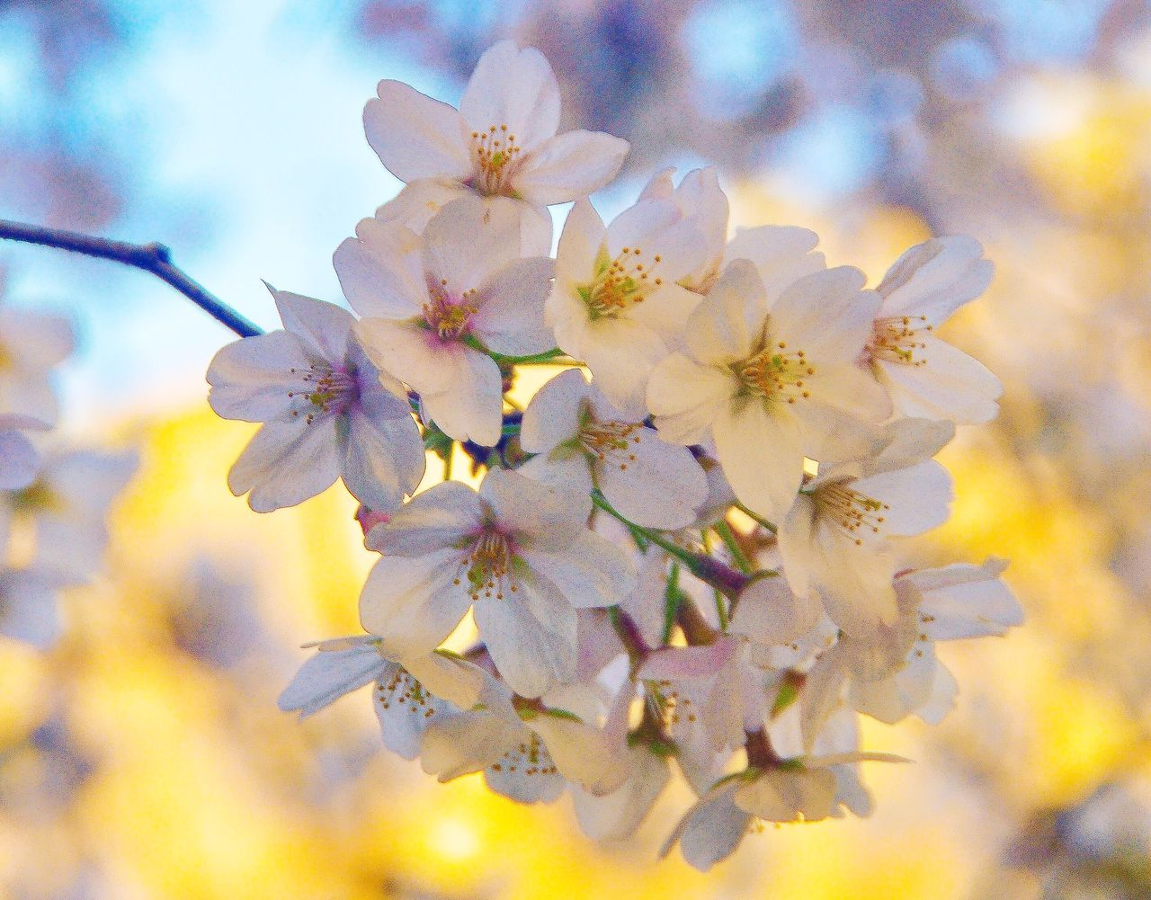 flower, fragility, beauty in nature, springtime, growth, blossom, freshness, petal, nature, tree, flower head, white color, apple blossom, orchard, apple tree, no people, botany, twig, branch, stamen, day, close-up, pollen, outdoors, blooming, sky