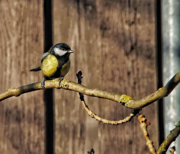 """""""Titmouse in front of the shed"""" Titmouse Tree Trees Birdintree Upinthetrees Oneanimal EyeEm Selects Animal Themes Animals In The Wild Perching Bird Focus On Foreground Animal Wildlife One Animal Day No People Nature Beauty In Nature Outdoors"""
