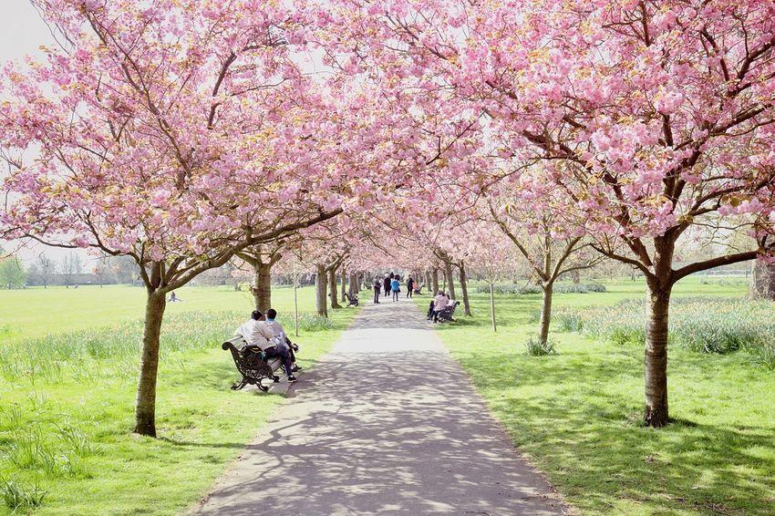 London Greenwichpark Cherryblossom Canoneos6d 20170406