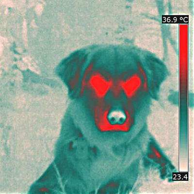 Animal Photography Animal Themes Animals Cute Dog  Cute Pets Dog Dog Head Domestic Animals Immagine Termica Pet Pet Photography  Temperatura Temperature Thermal Image Thermal Imaging Thermal Imaging Camera Thermic Image Diagnostic Method Veterinary Science