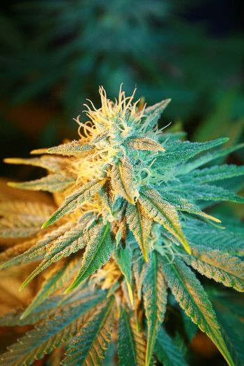 Cannabis Weed Flowers Weed Weed Plant Weed!!! Cannabis.👌🍁 Cannabisculture Cannabis Indica