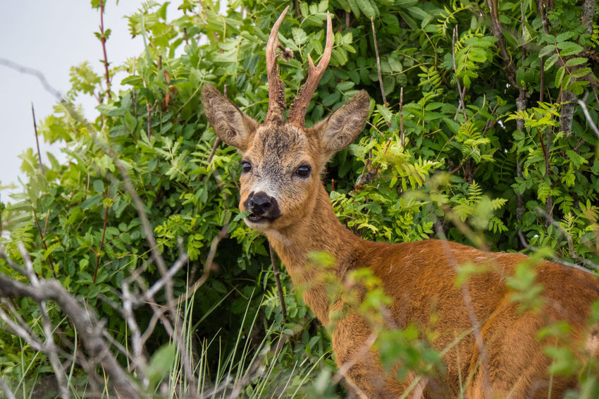 Deer Animal Themes Animal Wildlife Animals In The Wild Day Growth Horned Horned Animals Looking At Camera Mammal Nature No People One Animal Outdoors Plant Portrait Tree