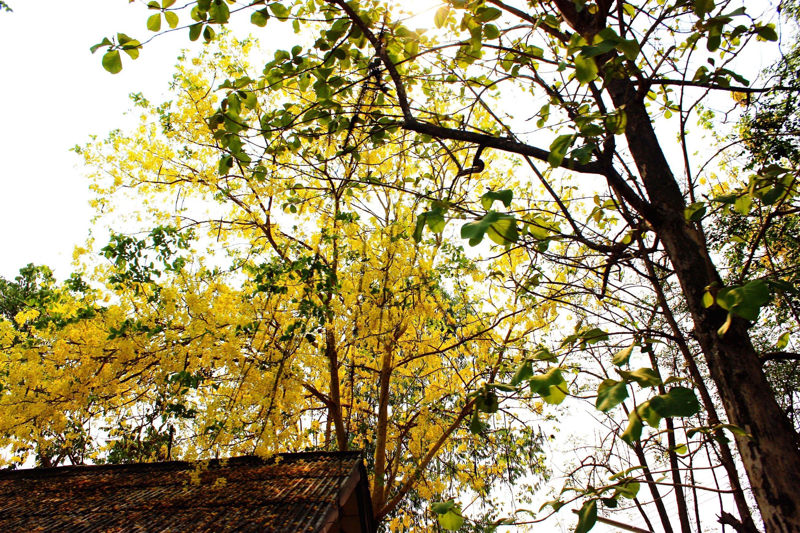 tree, low angle view, branch, architecture, built structure, building exterior, growth, clear sky, yellow, sky, nature, leaf, day, autumn, outdoors, no people, house, beauty in nature, tree trunk, green color