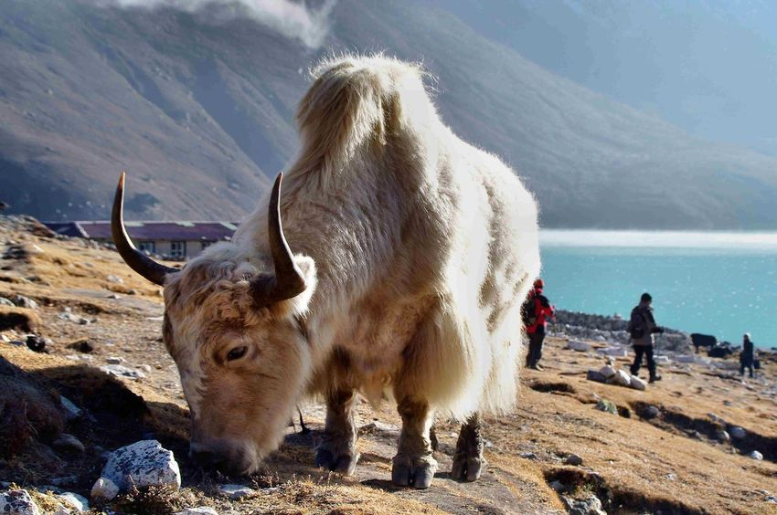 EyeEm Best Shots - Nature Yak Himalaya Gokyo Alm Streamzoofamily Animals In The Wild Nepal Gokyo Sea Gokyo Lake Trekking In Nepal No People Animal Wildlife