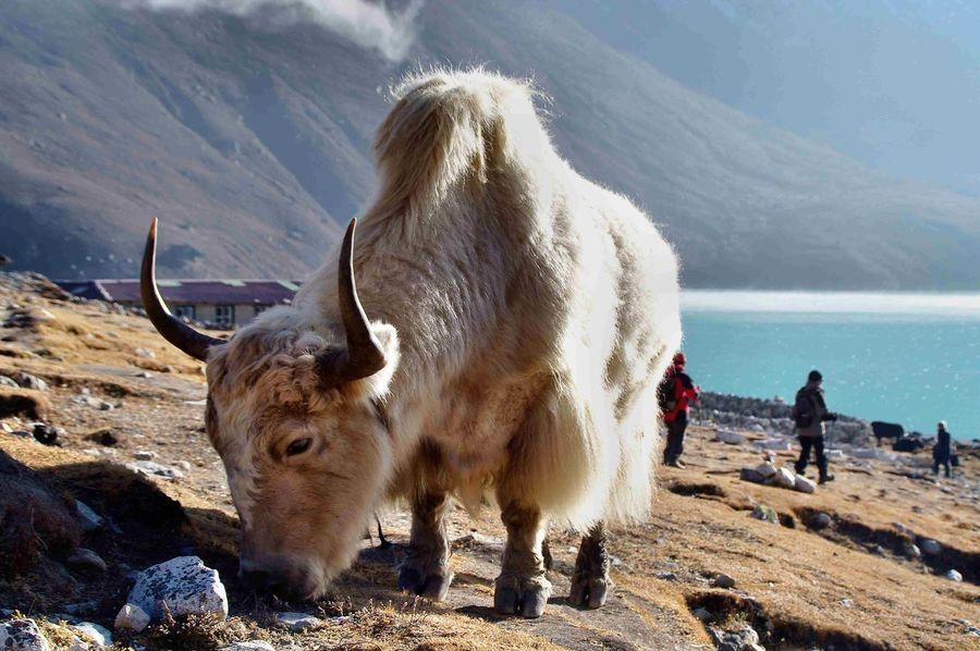 EyeEm Best Shots - Nature Yak Himalaya Gokyo Alm Streamzoofamily Animals In The Wild Nepal Gokyo Sea Gokyo Lake Trekking In Nepal No People Animal Wildlife