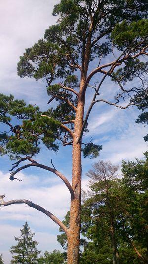 Tree Sky Clouds Gotland