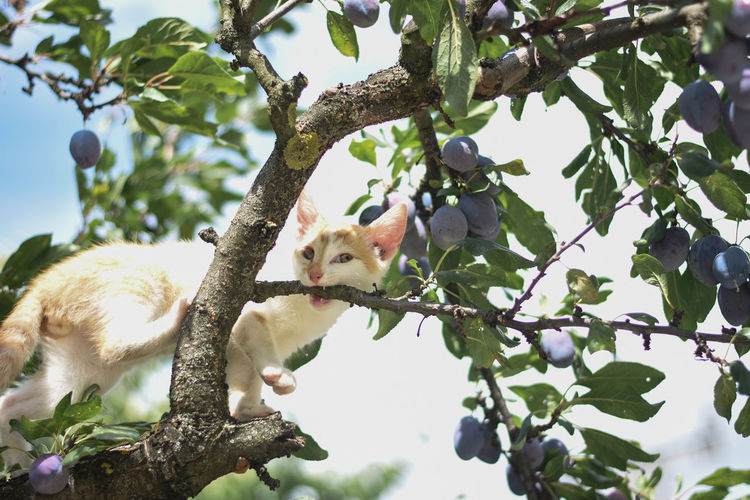 Low Angle View Of Cat On Branch Amidst Fruits