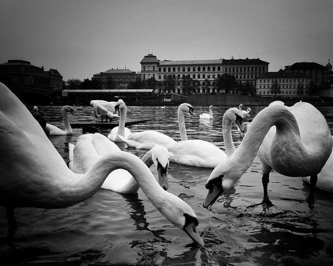 Water Adults Only Sky Swan Togetherness Animal Themes Praguelover Photography Prague Old Town Large Group Of Animals EyeEm Best Shots EyeEm Best Edits Beauty In Nature Swans Eyeemphotography Water Bird Beautiful Day No People Nature Animal Wildlife Prague Time EyeEm Prague Tower Eyeem Market Prague Czech Republic