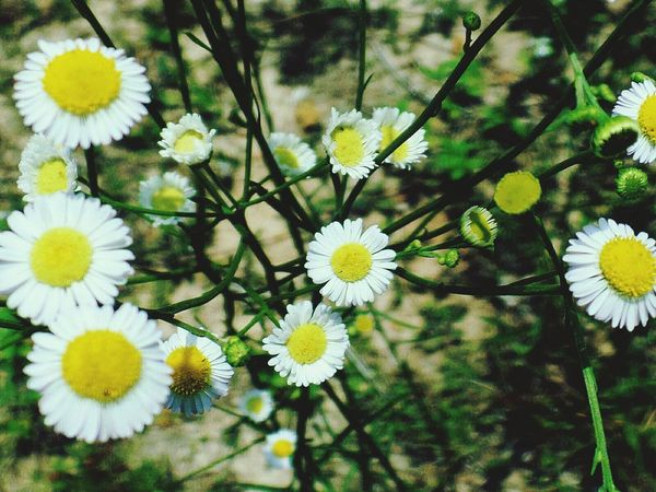 Daisies by the side of the rode Daisies Closeup Flowers White Flower Daisy Flower Nature Wild Flowers White Wild Flowers