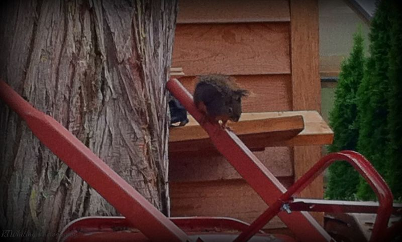 I finally captured this lil champ in a photo, his tail is 3in shorter from a scrap with my Siamese cat and despite the dangerous condition due to my cat he remains king of the cedar tree grove where I've lived for the last 4+ yrs.. Squirrel Nature EyeEm Best Shots - My World Wohnglück