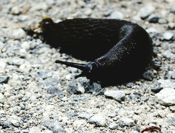 black slug schwarzer Schnegel Nacktschnecke Naturelovers Animalphotography Nature Photography Beautiful Nature No People Animals Posing Beauty In Nature EyeCatchers Animals Near Water On The Way Adventure Club