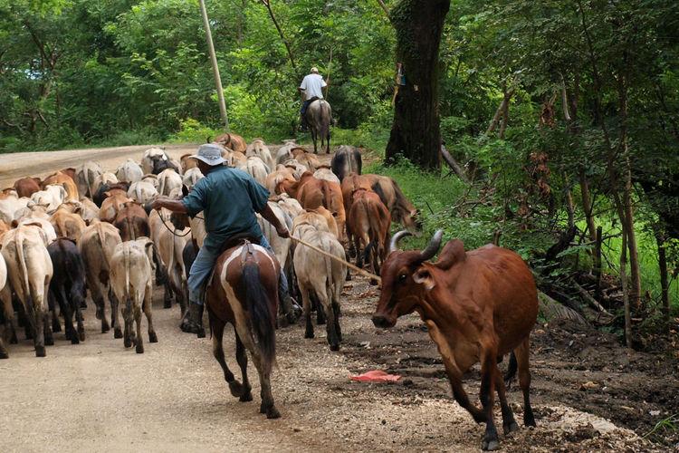 Rear view of man herding cattle