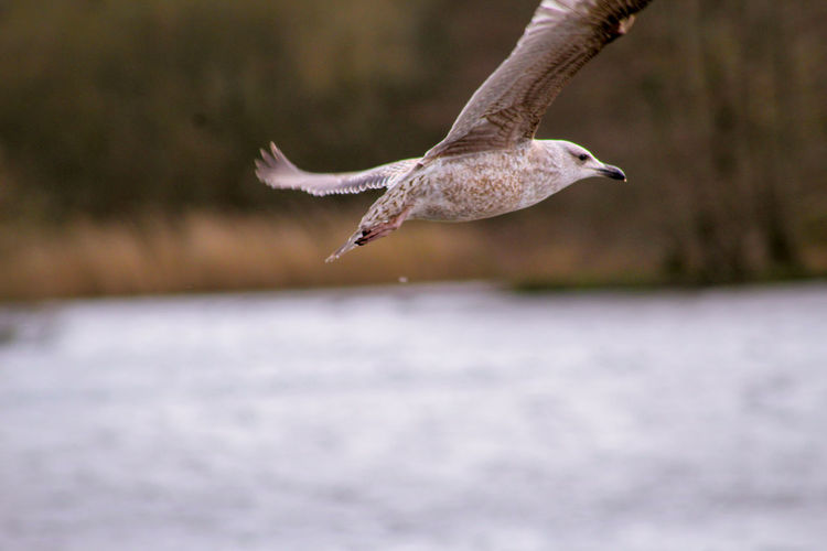 Young Animal EyeEm Best Shots EyeEm Nature Lover EyeEmBestPics EyeEm Best Shots - Nature Beauty In Nature Bird Spread Wings Flying Mid-air Full Length Water Animal Themes Animal Wing Seagull