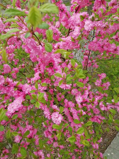 Too Beautiful Bushes Flower Pink Color Close-up Plant Flora Spring In Bloom Blossom