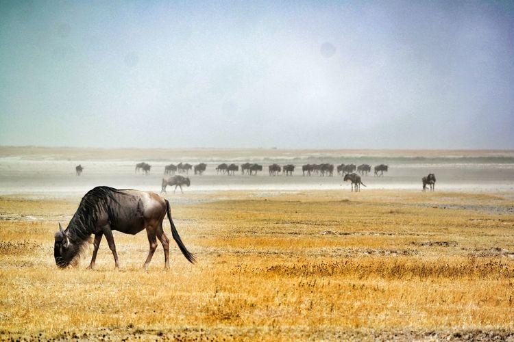 Herd of wildebeest grazing on field