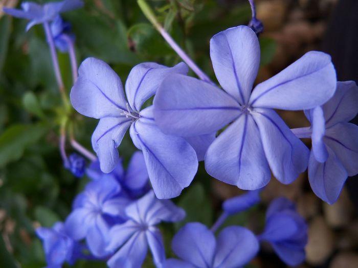 A pretty flower in my garden 🌺 Flower Blue Plumbago Botanical Blue Flowers Nature Garden Flowers,Plants & Garden Garden Photography My Garden Plant