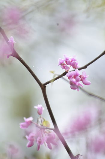 Beauty In Nature Blooming Blossom Branch Cherry Blossom Close-up Flower Flower Head Focus On Foreground Fragility Freshness Growth In Bloom Nature Petal Pink Pink Color Selective Focus Springtime Stem