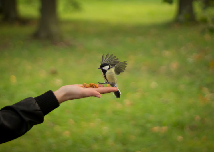 Cropped image of person feeding great tit in backyard