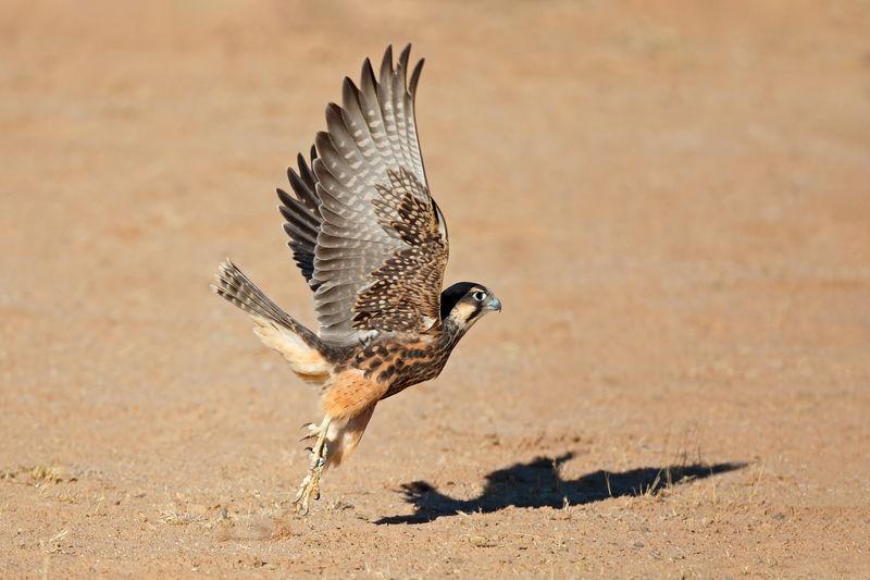 Side view of falcon bird landing on field