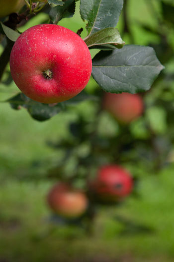 Close-up of apple on plant