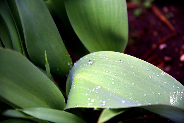 Close up of tulip plant leaves with their streaks covered with raindrops