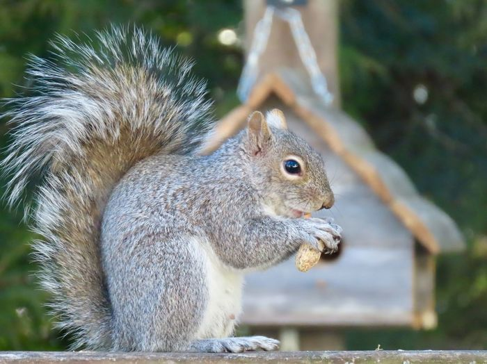 Squirrel with a peanut closeup selective focus perched atop a wooden railing wooden birdhouse trees EyeEm nature lover EyeEm Selects Animal Themes Animal Wildlife One Animal Rodent Side View No People