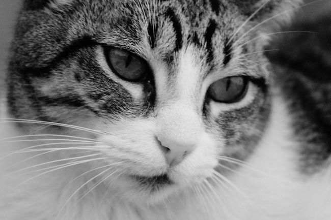EyeEm Selects Domestic Cat Pets Feline Domestic Animals Portrait Animal Themes Looking At Camera No People Day Cat Mycat Darling Lovecats❤️ 📷 Taking Photos Whisker Miauuu 😺