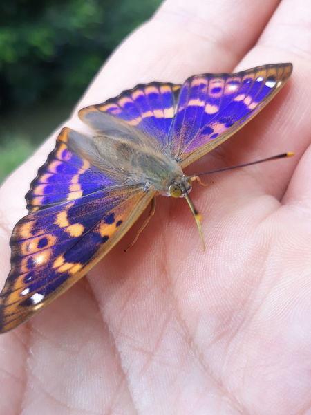 Apatura Ilia Kis Színjátszólepke Human Hand Flower Blue Insect Close-up