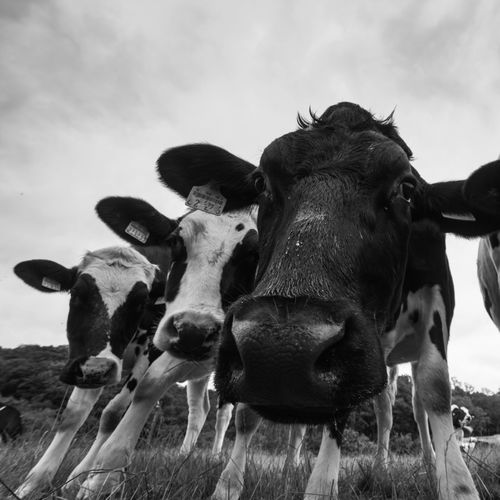 Animal Themes Animals Blackandwhite Blackandwhite Photography Close-up Cow Cows Day Domestic Animals Field Grass Grass Landscape Livestock Mammal Mammals Nature No People Outdoors Portrait Sky Standing Wide Angle