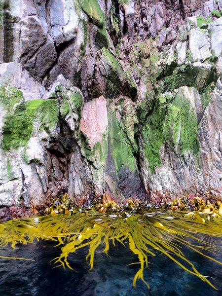 Snares Island Cochayuyo Bull Kelp Durvillaea Antarctica Nature Sub Antarctics Snares Island Kelp Rock Face Rock - Object Rock Formation Beauty In Nature Water No People Day Outdoors