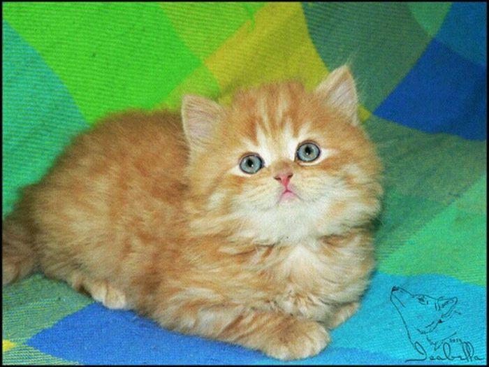 августин Cat кот котёнок британец рыжий тигровый