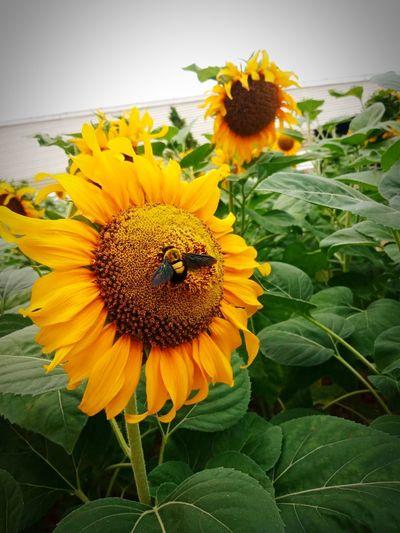 🌻🌻 Flower