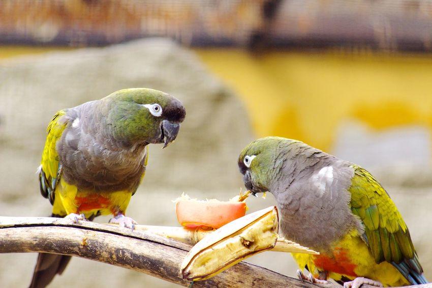 Papagei Animals Colors Colorful Friends Parrot Parrots Eating Birds Nature Quasselstrippe Q Nature's Diversities Canon EOS 700D Pentacon 135mm 2.8