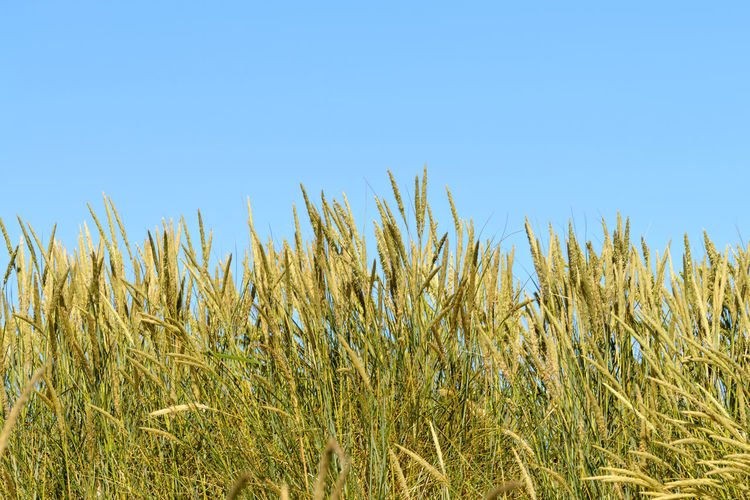 Dune grasses at