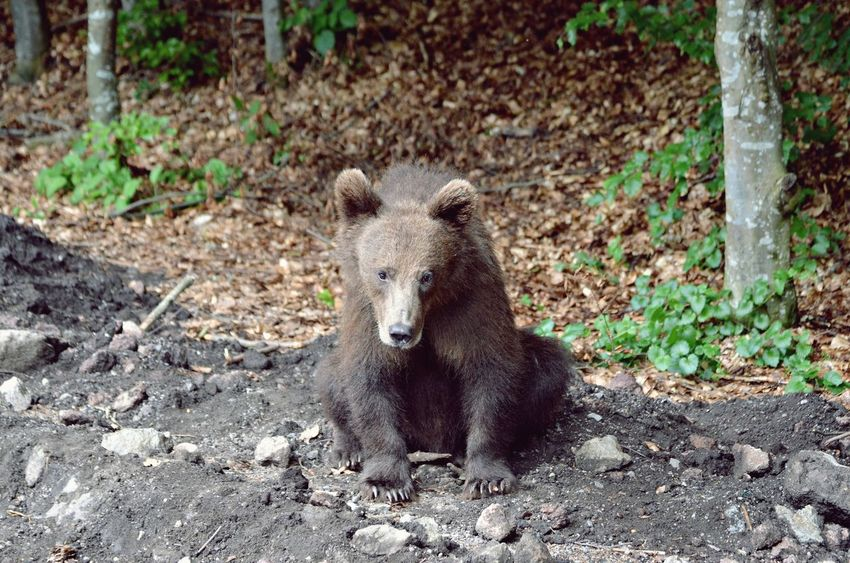 Animal Themes Animal Wildlife Animals In The Wild Bear Bear Dangerous Dangerous Animals Day EyeEm Best Shots EyeEm Nature Collection EyeEm Nature Lover EyeEm Wildlife Mammal Nature No People One Animal Outdoors Portrait Transylvania Wildlife & Nature Wildlife And Nature Wildlife Photography Wildlife Photos