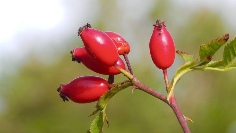 Beauty In Nature Close-up Day Focus On Foreground Food Food And Drink Freshness Fruit Growth Hagebutten Hagebuttenblüte Healthy Eating Nature No People Outdoors Red Rose Hip Tree