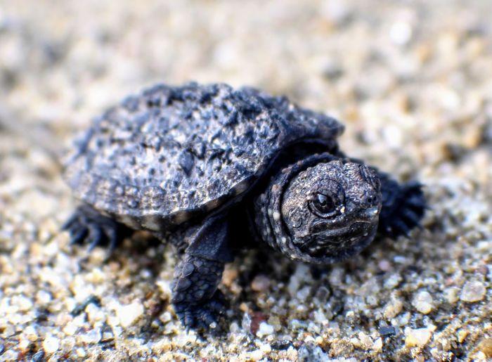 Sand Tortoise