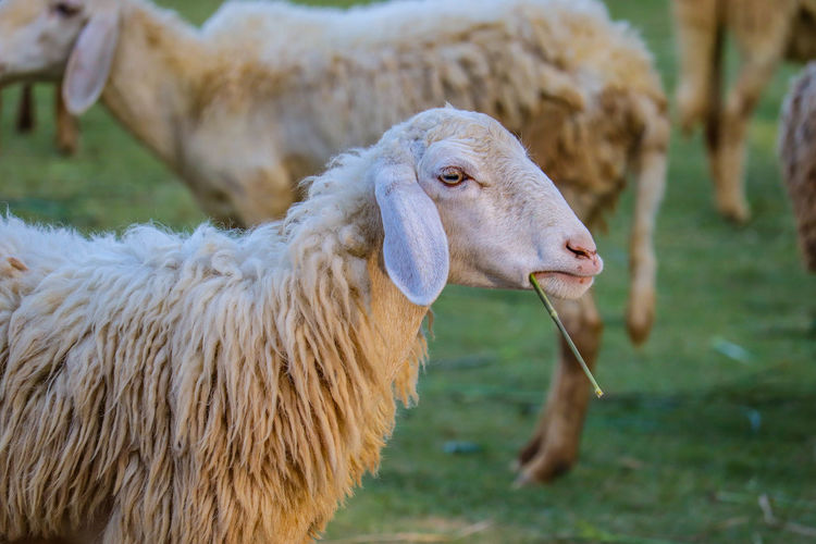 Close-up of a sheep on field