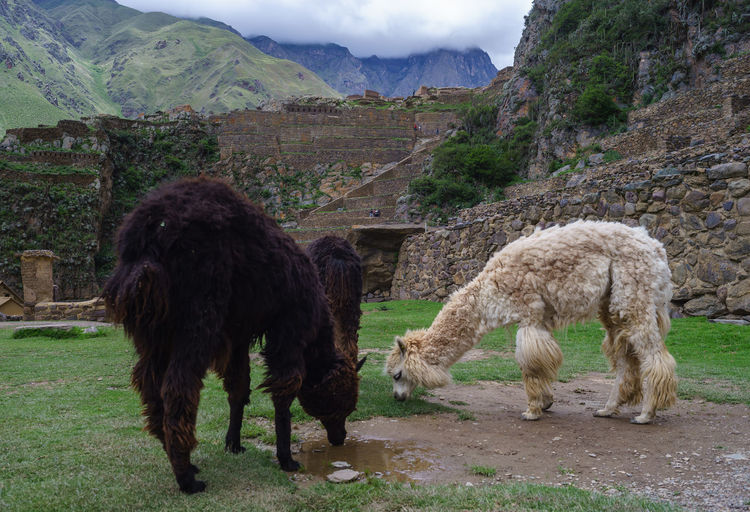America Cat Culture Food Guinea Pig Inca Markets Peru Peruvian Pisac Pisaq Puppy Ruins Sacred Valley South Spiral Travel Landscapes With WhiteWall