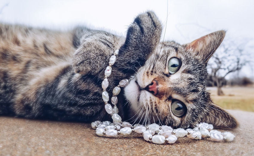 Princess Sammy Cats Of EyeEm Cat Cat Lovers Cat♡ Necklace Posing Posing For The Camera Cats Of EyeEm Kansas Bright Pets Portrait Feline Sitting Domestic Cat Looking At Camera Lying Down Close-up Pearl Jewelry Cat Family
