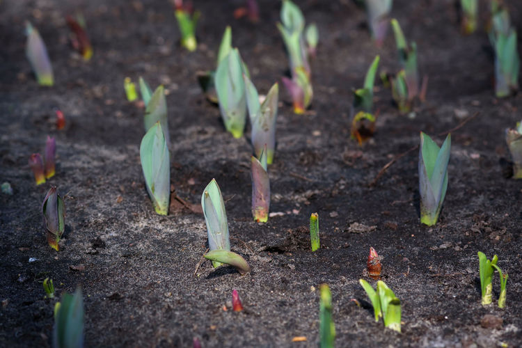 Tulip sprouts at flower bed in garden. Spring Springtime Spring Flowers Spring Theme Sprouts Beauty In Nature Freshness Garden Green Color Growth Leaf Nature New Life No People Plant Sprout Sprouts At Flower Bed Sprouts In Garden Tulip Tulip Sprouts